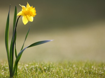 Yellow Narzisse Flower in Grass